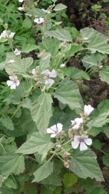 min 50 Samen Echter Eibisch (Althaea officinalis)