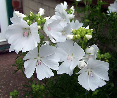 MALVA -White Musk Mallow - 150 Seeds