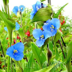 COMMELINA-COELESTIS-BLUE-FLOWERS-PERENNIAL-30-SEEDS