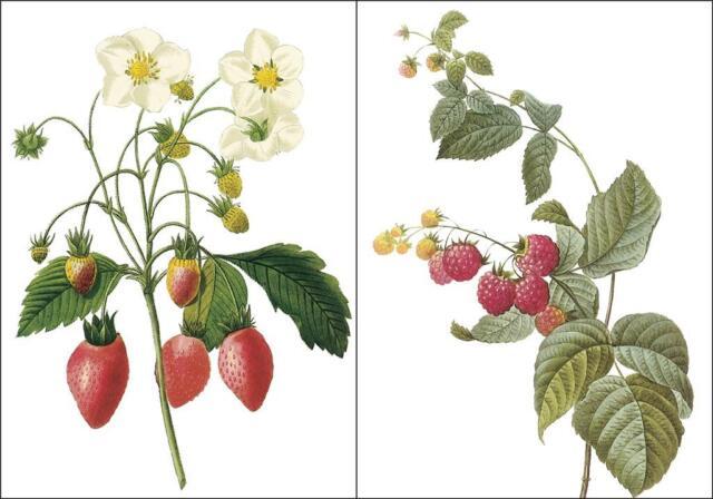 2-Redoute Fruit Illustrations BerriesCounted Cross Stitch Chart Free Ship USA
