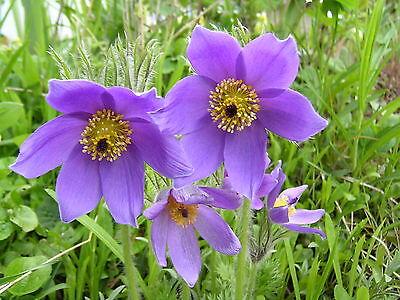 Pulsatilla vulgaris GEMEINE KÜCHENSCHELLE 30 Samen Wildpflanzen