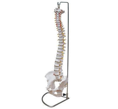 Squelette Modèle Anatomique de la rachis avec pelvis