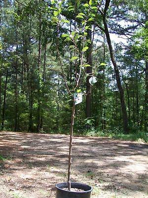 4'-5' live Fuji Apple Fruit Tree 5g Trees Plant Sweet Juicy Apples Orchard Home