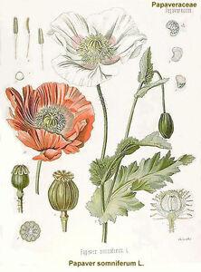 1-gram-1-000-SUPER-MIX-Afghan-Poppy-Seed-Papaver-somniferum-entheogen-Persian
