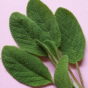 SAGE-COMMON-ENGLISH-BROAD-LEAVED-120-Seeds-kitchen-garden-favourite