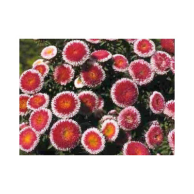 50 HI NO MARU ASTER Red & White Callistephus Flower Seeds *Comb S/H & Free Gift