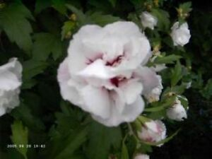 hibiskus 39 speciosus 39 hibiscus winterharte pflanzen zierstrauch im topf 15 25cm ebay. Black Bedroom Furniture Sets. Home Design Ideas