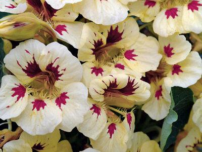 FLOWER NASTURTIUM LADYBIRD CREAM PURPLE SPOT 25 SEEDS
