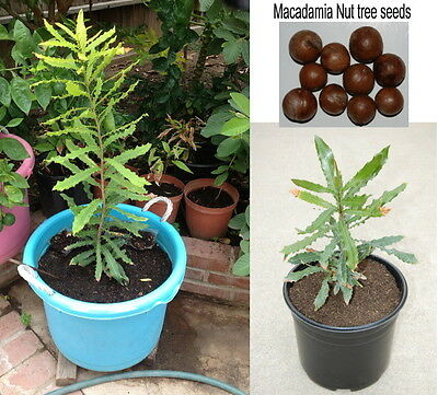 20 Fresh Seeds of Hawaiian Macadamia Nut Tree Plant
