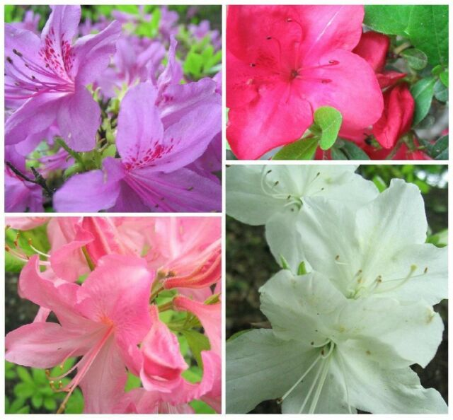 AZALEA  *HARDY MIX * Rhododendron *EARLY SPRING BLOOMER* BONSAI SEEDS