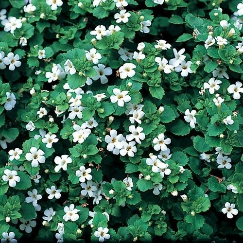 New Pack x6 Bacopa 'Snowflake' Hanging Basket / Garden Plug Plants