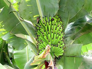 Helen-039-s-Banana-10-Seeds-Musa-sp-Hardy-Musa-Hybrid