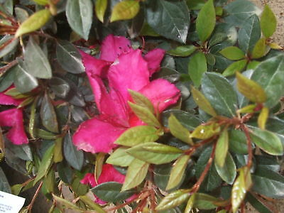 Azalea, Red Formosa, plants, spring flowering