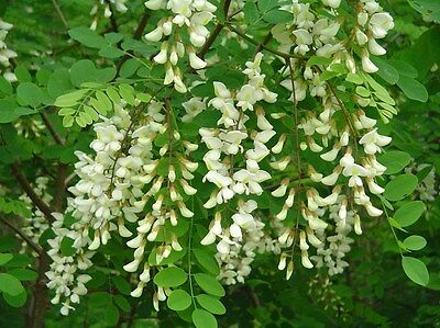 Black Locust, Robinia pseudoacacia, Tree Seeds (Fast, Hardy, Fragrant)