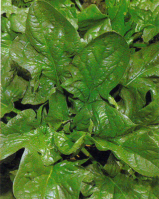 VEGETABLE  SPINACH GIANT WINTER  8 GRAM ~ 555 SEEDS **FREE UK P&P**