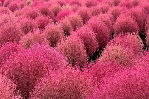Grass Burning Bush - Kochia scoparia  var. trichophylla - 10 viable plant seeds