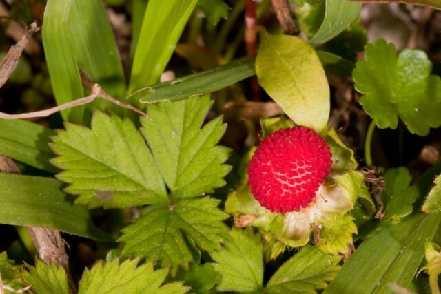 50 Indian TUTTIFRUTTI STRAWBERRY Duchesnea Indica Flower Berry Seeds *Comb S/H