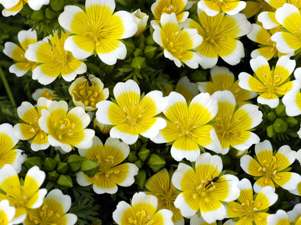 FLOWER LIMNANTHES DOUGLASII POACHED EGG MIX 3 GRAM ~ APPROX 360 FINEST SEEDS