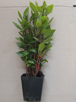 24 pz alloro lauro nobile pianta piante da giardino vaso Ø 9 fiori laurus
