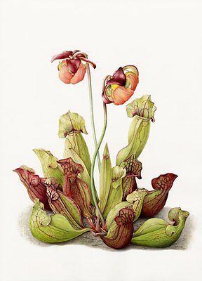 10 Seeds - Pitcher Plant Mix - Sarracenia - Carnivorous Plant