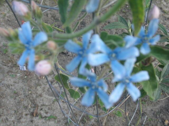 Oxypetalum caeruleum Tweedia Blue Star Milkweed Vine 10 seeds