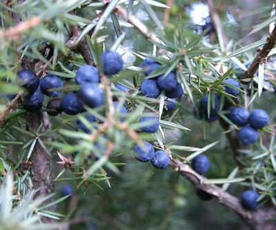 50 Samen Gemeiner Wacholder (Juniperus communis), Wacholderbeeren essbar, Bonsai