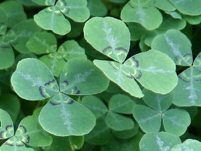 Blue Oxalis | Himalayan Shamrock Pea Creeper Vine | 10 Seeds
