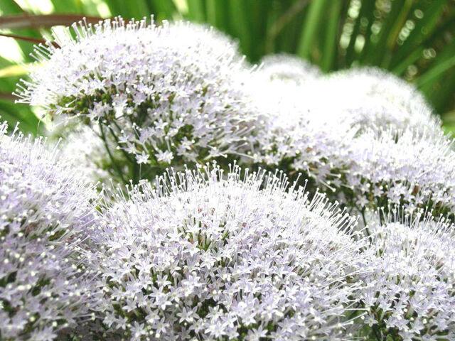 25 WHITE THROATWORT Trachelium Caeruleum Flower Seeds + Gift & Comb S/H
