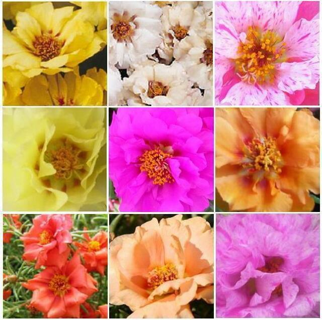 ROSE MOSS * SUNDIAL MIXED COLORS *  Portulaca grandiflora * THRIVES IN HEAT SEED