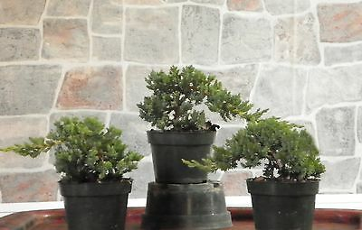 3 large Japanese Dwarf Juniper Pre  Bonsai Tree Live trees
