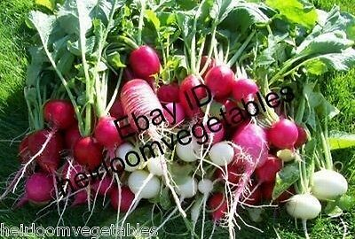 RADISH LOVERS DELIGHT 9 kinds of radishes. 500 seeds. ***SAME DAY SHIPPING*