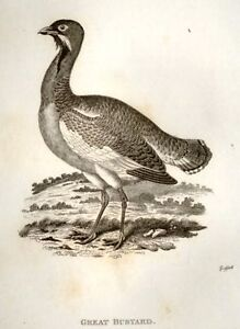 Shaw-039-s-Zoology-Engraving-1800-GREAT-BUSTARD