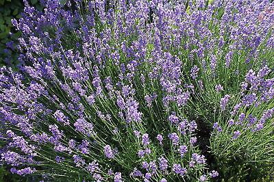 Lavendel - wunderbare Duftpflanze - 60 Samen