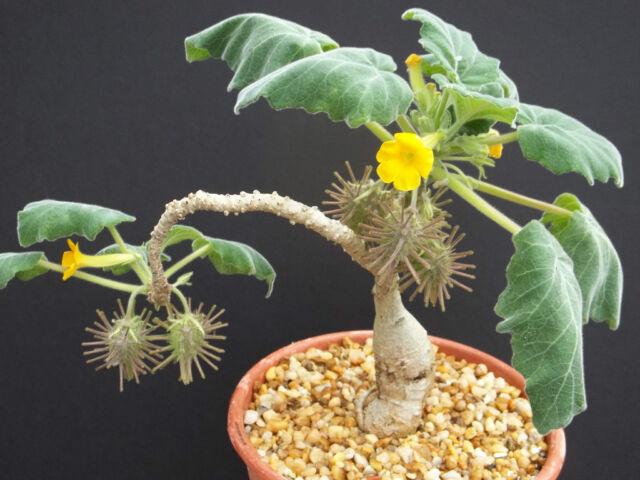 Uncarina roesliana @@ exotic rare flowering caudex rare succulents seed 50 SEEDS