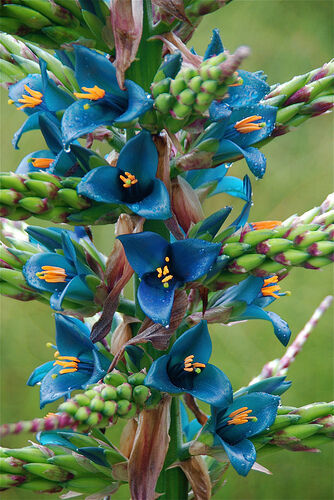 Puya Berteroana ( Huge Turquoise Flowerheads )   25 x Fresh Seed