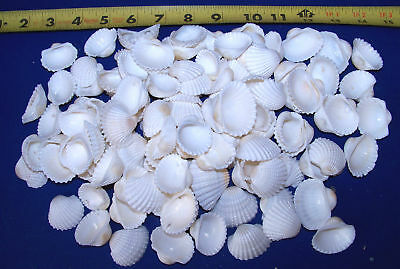 "30+ REAL WHITE ARK SHELLS CRAFT NAUTICAL DECOR 1""+"