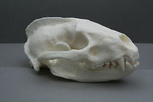 Badger-Animal-Skull-Replica-Taxidermy-Study-Unusual-Ornament-Christmas-Gift