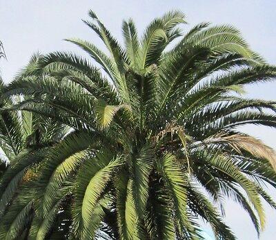 10 Samen Kanarische Dattelpalme (Phoenix canariensis), anspruchslose Zier-Palme