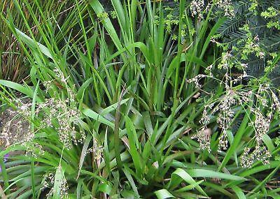 50 Samen Luzula sylvatica, Wald-Hainsimse, Ziergras, winterhart, Unterpflanzung