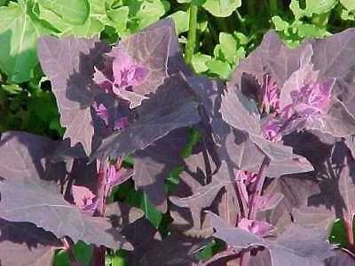 ESPINACA VIOLETA triple de VITAMINA A 25 semillas seeds