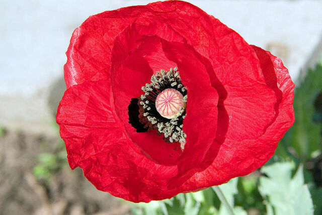 100 RED TULIP POPPY Papaver Glaucum Flower Seeds * Flat Shipping + Free Gift