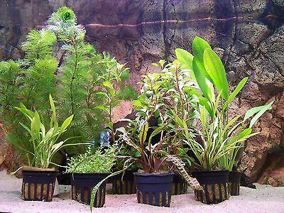 Wasserpflanzen Aquariumpflanzen Topfpflanzen Bundpflanzen  Nano Aquaristik Set 2