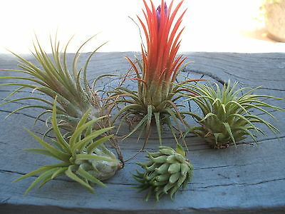 Tillandsia Ionantha Assorted 5 Pack-5 Different Air Plants