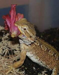 Bearded Dragon Iguana Dried Flower Herb Mix Ready To