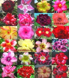 """Adenium Obesum Desert Rose """"Mixed"""" 1000 Seeds 24 Type!"""