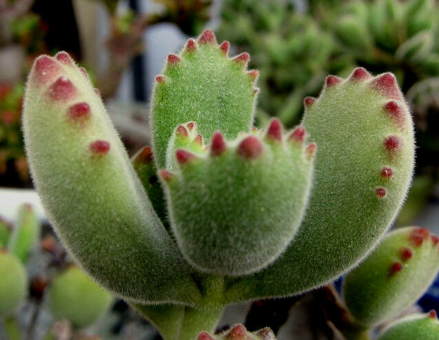 Bear Claw / Paw Cotyledon Tomentosa Succulent Plant 2 Cuttings
