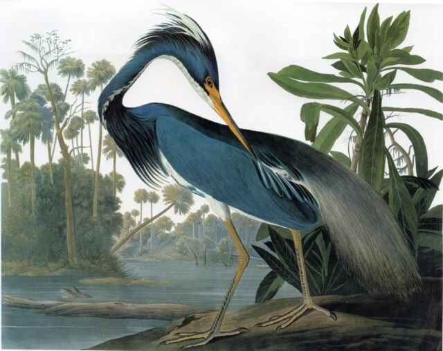 Audubon Print Reproductions: Birds of America: Louisiana Heron - Fine Art Print