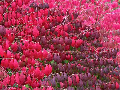 Burning Bush, Euonymus alatus, Seeds (Fall Color, Hardy, Hedge)
