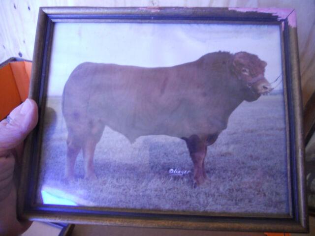 vintage PHOTO/PHOTOGRAPH prize bull,DIPLOMATE,historic Limousin