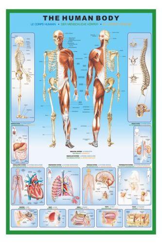 The Human Body Poster  Gloss Laminated New Sealed Free UK P/&P